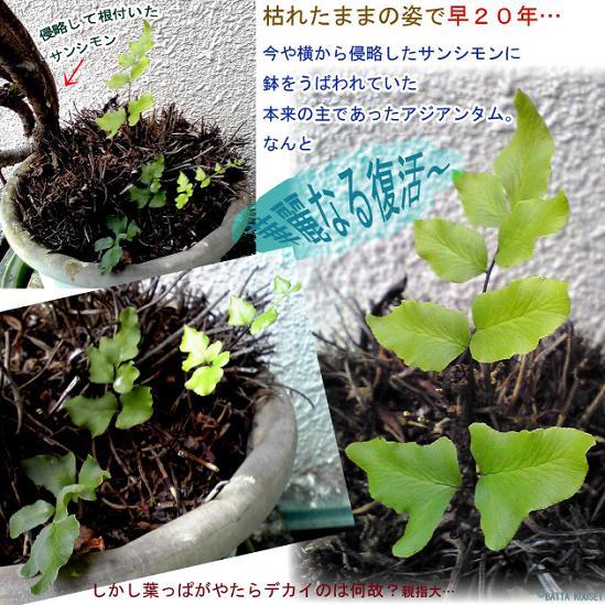 アジアンタム20年後の復活ブログ用.JPG