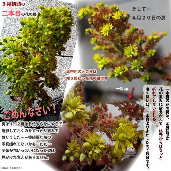 サンシモンの花3月4月ブログ用.JPG