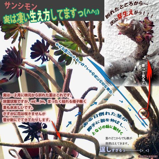 サンシモン4月芽がブログ用.JPG