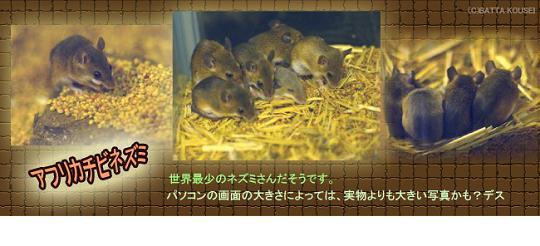動物村のアフリカチビネズミブログ用.JPG