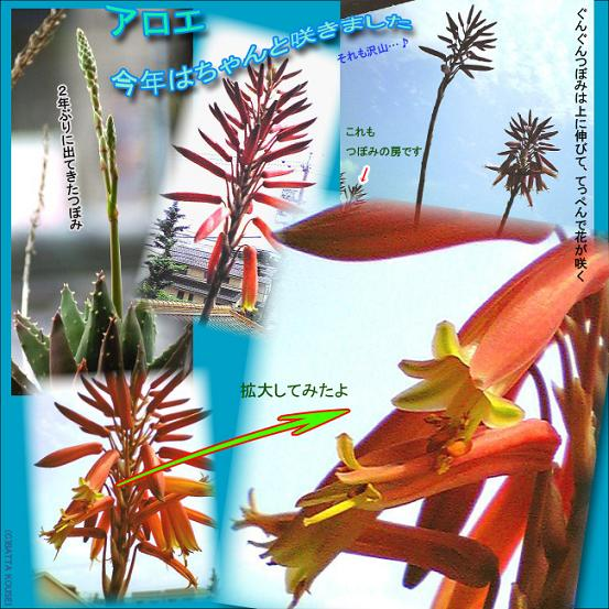 08・アロエの花ブログ用.JPG