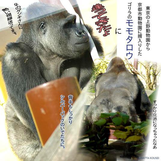 10京都ゴリラ1ブログ.JPG
