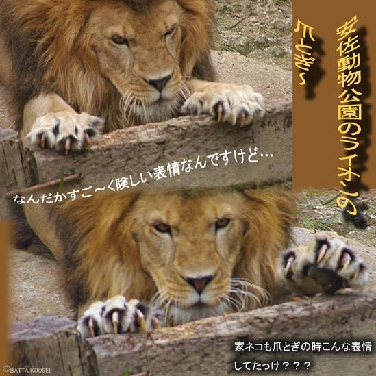 ライオンの爪とぎブログ用.JPG