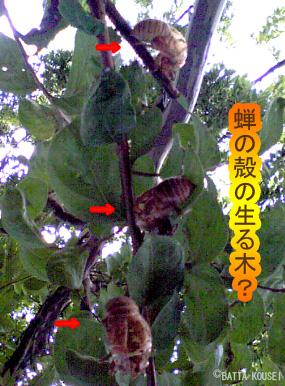 蝉の生る木1.jpg