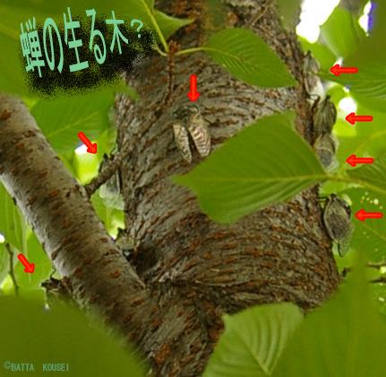 蝉の生る木3.jpg