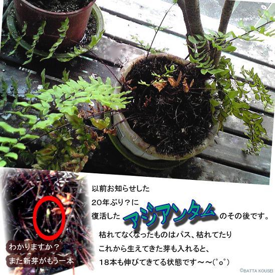 099月末のアジアンタムブログ用.JPG